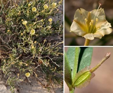 Acleisanthes lanceolata