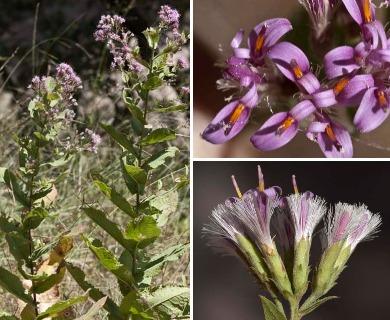 Acourtia thurberi