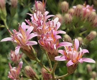Acourtia wrightii