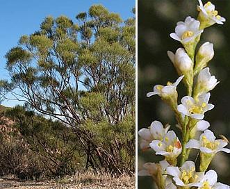 Adenostoma sparsifolium
