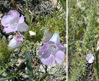 Agalinis densiflora