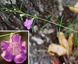 Agalinis purpurea
