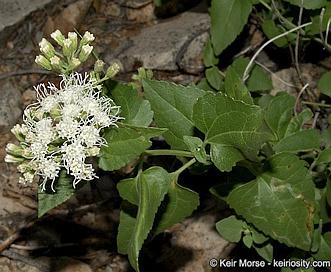 Ageratina herbacea