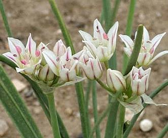 Allium drummondii