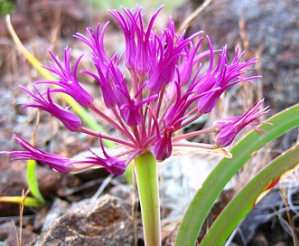 Allium falcifolium