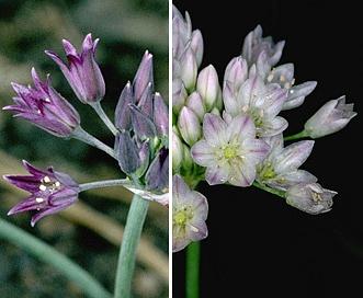 Allium fimbriatum