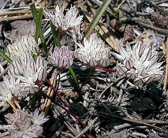 Allium obtusum