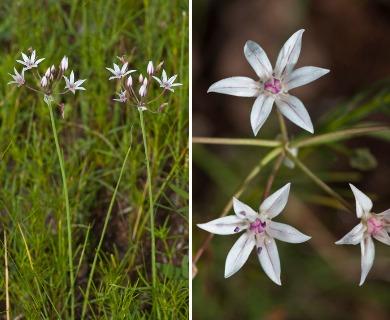 Allium rhizomatum
