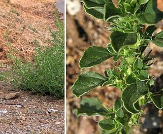 Amaranthus albus