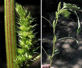 Amaranthus powellii