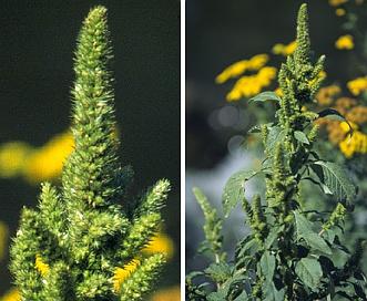 Amaranthus retroflexus