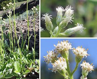 Antennaria racemosa