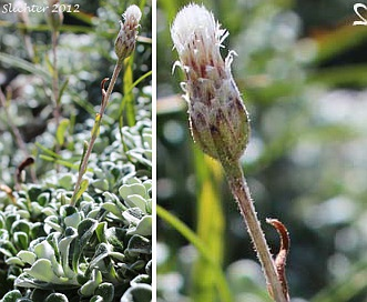 Antennaria suffrutescens