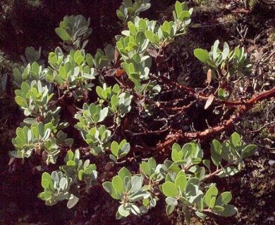 Arctostaphylos columbiana
