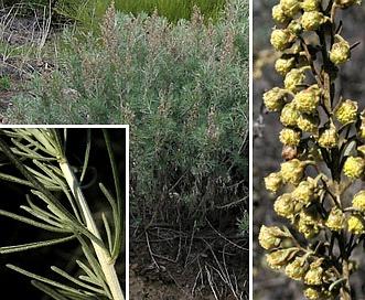 Artemisia californica