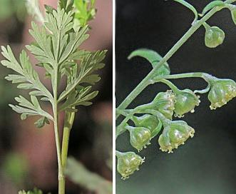 Artemisia franserioides