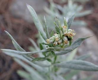 Artemisia longifolia