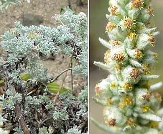 Artemisia pycnocephala