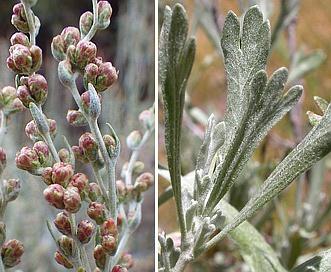 Artemisia spiciformis