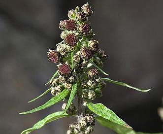 Artemisia tilesii