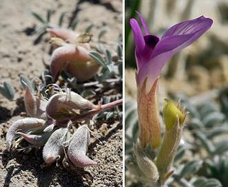 Astragalus argophyllus