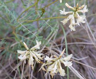 Astragalus asotinensis