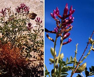 Astragalus crotalariae