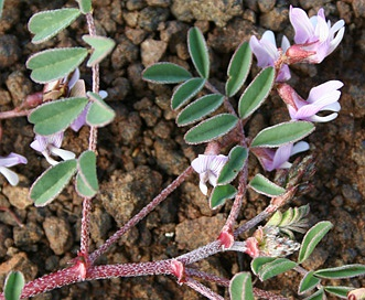 Astragalus diaphanus