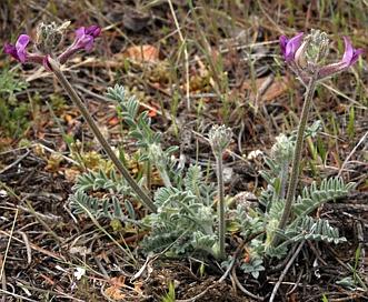 Astragalus leucolobus