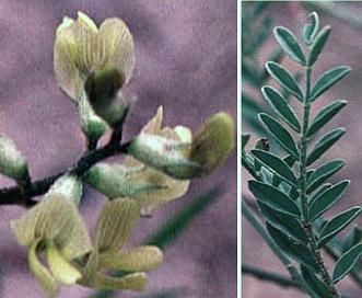 Astragalus misellus
