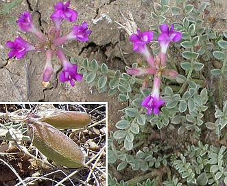 Astragalus missouriensis