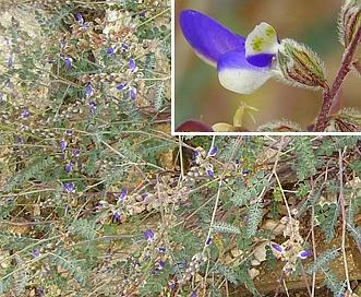Astragalus nothoxys