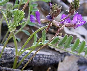 Astragalus nuttallianus