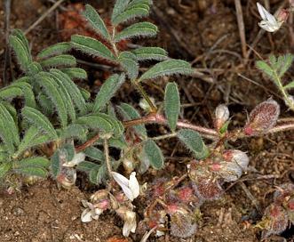 Astragalus pulsiferae