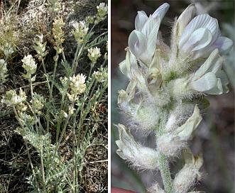 Astragalus spaldingii