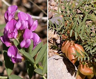 Astragalus wootonii