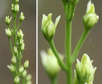 Bartonia paniculata