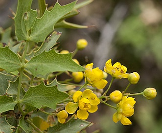 Berberis haematocarpa