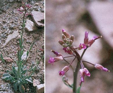 Boechera inyoensis