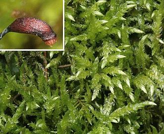 Brachythecium rivulare