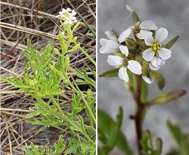 Cakile lanceolata