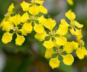 Callaeum macropterum