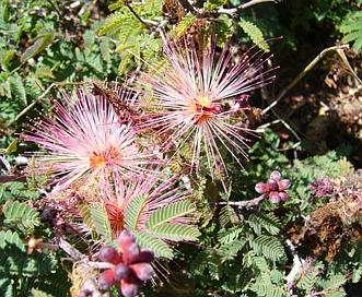 Calliandra eriophylla