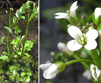 Cardamine penduliflora