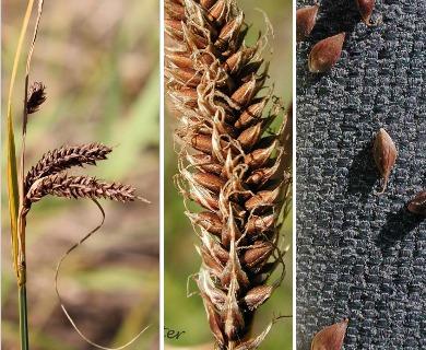 Carex aperta