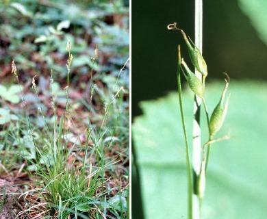 Carex assiniboinensis