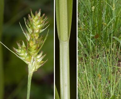 Carex austrina