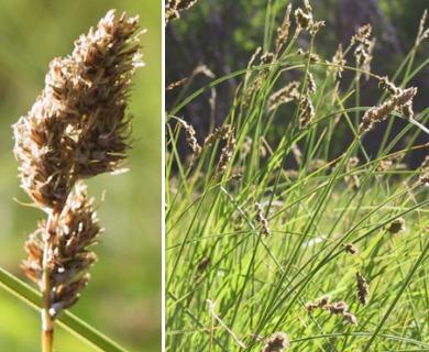 Carex cusickii