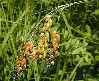 Carex davisii