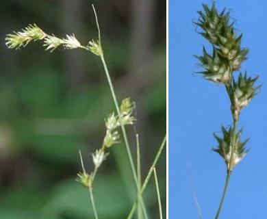 Carex echinodes